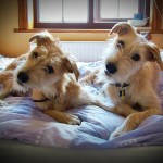 lurcher dogs